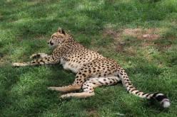 cheetah-at-nanyuki-orphanage