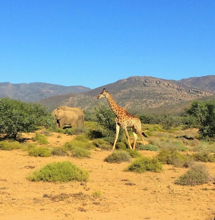 giraffee-and-elephants