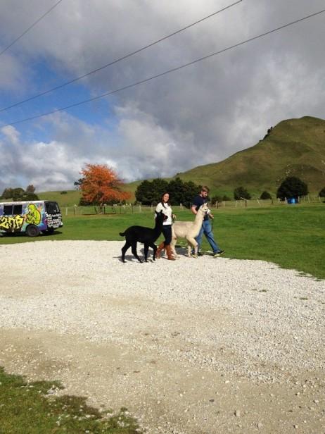 Walking the Alpaca's
