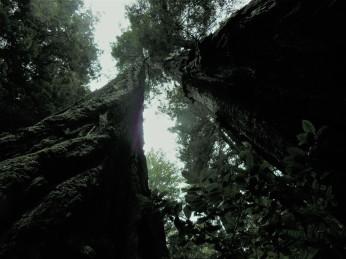 Massive Trees!