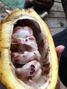 Cocoa beans in a cocoa pod