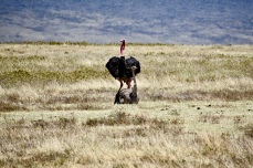 Ostriches in Love