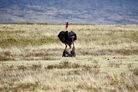 Ostriches in Love