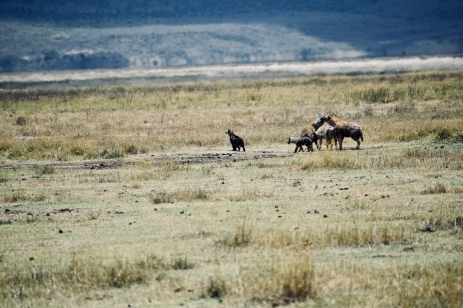 Hyena family at play