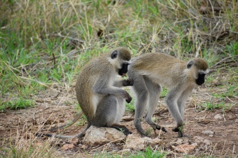 Blueball monkeys grooming