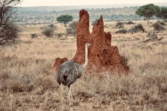 Ostrich and a termite mound