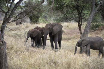 Elephants in tarangire 2